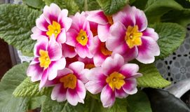 Viola flowers at home. Pink flower in vase. Viola flowers at home Pink flower in vase stock photography