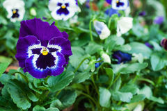 Viola flowers Stock Image