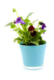 Viola flowers in pot Stock Photos