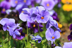 Viola flowers in the summer Stock Image