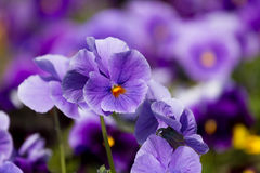 Viola flowers Stock Photos