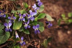 Viola flowers Royalty Free Stock Photos