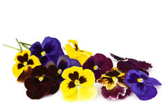 Viola flowers on a white background. Stock Photo