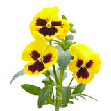 Viola flowers on white background Stock Photography
