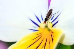 Viola fly Stock Photo