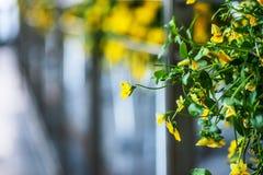 Viola is a genus of flowering plants Royalty Free Stock Photos