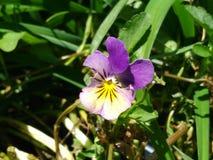 Viola gialla porpora Fotografie Stock Libere da Diritti