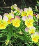 Viola gialla tricolore Fotografia Stock