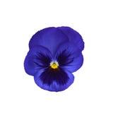 Viola isolata su fondo bianco Immagini Stock Libere da Diritti