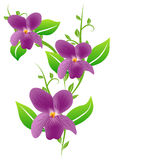 Viola isolated Stock Images
