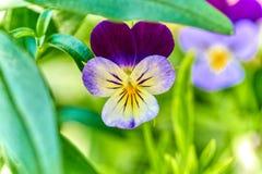 Viola Johnny Jump tricolor encima del primer en fondo natural en su hábitat natural con verde fuera del fondo del foco foto de archivo libre de regalías