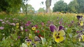 Viola L tricolor Fotografía de archivo libre de regalías