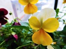 A viola laranja-amarelo no vaso de flores marrom Imagens de Stock Royalty Free