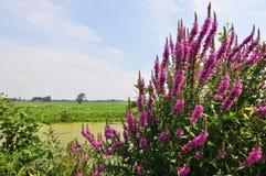 Viola-lisimachia Fotografia Stock Libera da Diritti