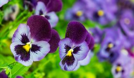 Viola a lot flowers of beautiful lilac-burgundy color. Spring sunny day, full bloom, dark purple upper petal and yellow core, two pieces, in the background the stock images