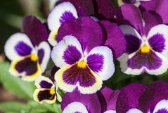 Viola a lot flowers of beautiful lilac-burgundy color. Spring sunny day, full bloom, dark purple upper petal and yellow core, in the background the same stock images