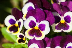 Viola a lot flowers of beautiful lilac-burgundy color with white edging and yellow core,. Spring sunny day, full bloom Stock Photo