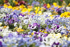 Viola meadow white and purple with out of focus background.  Royalty Free Stock Images