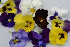 Viola mix flowers Royalty Free Stock Photo