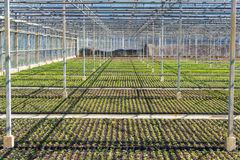 Viola nursery in a greenhouse. In the Netherlands royalty free stock image