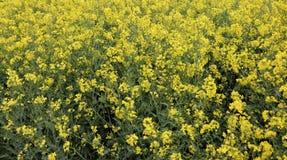 A viola??o amarela bonita da semente oleaginosa, napus do Brassica floresce Campo de florescência dourado no dia ensolarado Paisa fotografia de stock