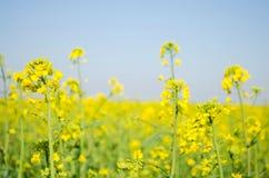 viola??o Campo da colza durante a floresc?ncia Fam?lia da couve Cultura da semente oleaginosa agricultura cultivar imagens de stock