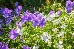 Viola oder Pansies-Nahaufnahme Stockfotografie