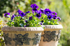Viola oderata. Beautiful blue violets in teracota flowerpot Stock Photos