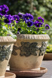 Viola oderata. Beautiful blue violets in teracota lowerpot royalty free stock image