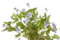 Viola odorata Royalty Free Stock Image