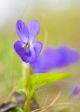 Viola Odorata Bloom Royalty Free Stock Photo