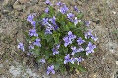 Viola odorata bush in the garden Royalty Free Stock Photography