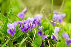 Viola odorata close-up Royalty Free Stock Image