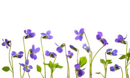 Viola odorata flowers Royalty Free Stock Photography