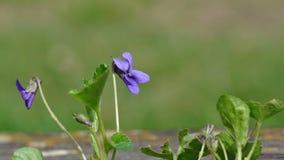 Viola Odorata. Macro detail of Viola flower in the spring Royalty Free Stock Photography