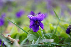Viola odorata. With spring snow Stock Images