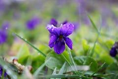 Viola odorata Stock Images