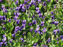 Viola odorata in the sun Royalty Free Stock Image