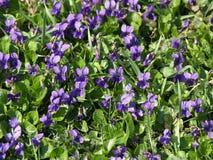 Viola odorata in the sun Royalty Free Stock Image