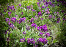 Viola odorata - Sweet Violet, Stock Photography