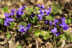 Viola odorata Sweet Violet, English Violet, Common Violet - violet flowers bloom in the forest in spring wild meadow, background.  stock photography