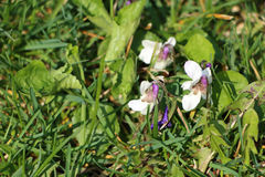 Viola odorata - unusual colorful variation with white bloom Royalty Free Stock Photography