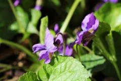 Viola odorata - wild violet Royalty Free Stock Images