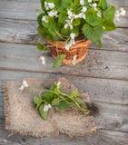 Viola odorata  on wooden table Stock Photos