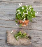 Viola odorata  on wooden table Royalty Free Stock Photos