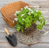 Viola odorata  on wooden table Stock Photo
