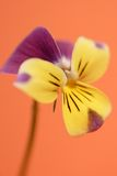 Viola on orange. Background royalty free stock photo