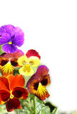 Viola Pansies. Viola flower border angled. Copyspace Royalty Free Stock Image