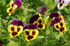 Viola. Pansies. Stock Photography