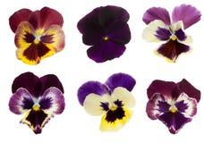 Viola/Pansy σειρά Στοκ Εικόνα